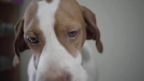 Close up portrait sad pointer dog with brown spots looking in the camera. Adorable dog with kind hazelnut eyes licking himself and sniffing. The pet in the veterinary clinic