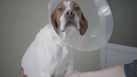 Close up of sad pointer dog with brown spots in veterinary collar looking in the camera. The animal is on the table in veterinary clinic, human hand holding paw of the dog. Pet health care