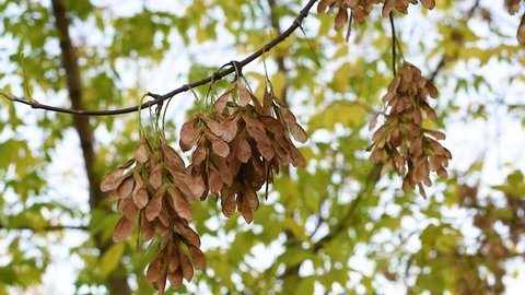 Autumn.Seeds of a maple tree swinging on the branches of trees with the breeze  Against the background of autumn leaves swing maple seeds . Maple seeds ripen in the maple.