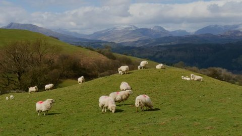 Sheep on hill mound with mountains in the background, North Wales in the UK. Version = Zoom In - 15 Seconds