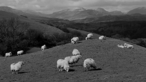 Sheep on hill mound with mountains in the background, North Wales in the UK. Version = Zoom Out Black and White 15 seconds