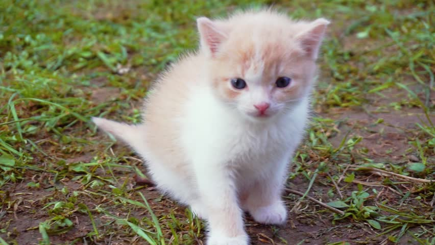 Cute little funny fluffy kitten walking on the green lawn on a sunny summer day.comical home fluffy pet for a walk.close-up | Shutterstock HD Video #1028980415