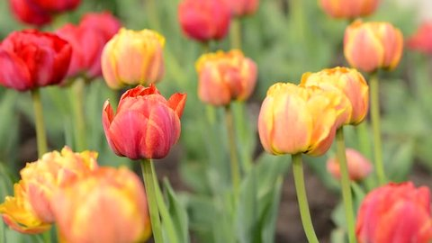 Tulips flowers swaying in the wind, colored spring tulips with beautiful blurred bouquet background.