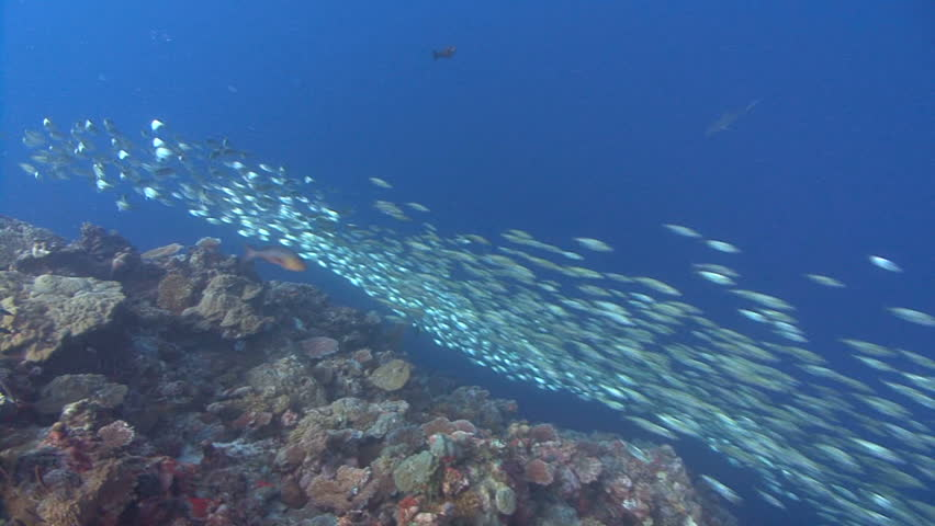 Huge school of silver fish move in unison