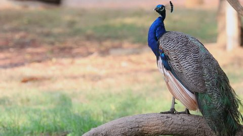 The male peacock is cleaning the beautiful feathers, the peacock is a bird that is found in Thailand and India.