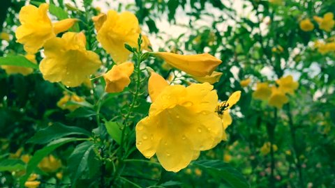 "The Yellow Allamanda Flower Blooming among The Rain Season. Yellow allamanda flower with water drop, In Thailand we call allamanda flower is ""Ban buri"" flower"