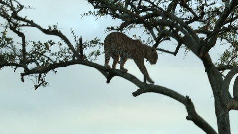 Leopard (Panthera pardus) walking and jumping down from a tree, during sunset, Maasai Mara, Kenya.