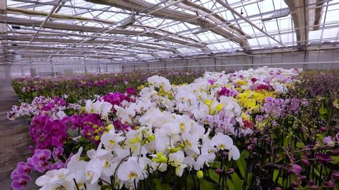 Panorama of a blooming orchid. Blooming orchid panorama. Orchid flower close up, beautiful orchid close up