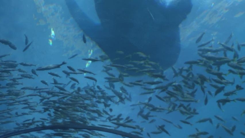 A whale shark swims overhead.   Shutterstock HD Video #1029686795