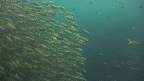 the camera shows school of Oxeye scad-Selar boops, then the groupers that swims inside the pack of barracudas