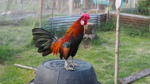 The bantam chick I fed was rooster crows in the evening. A bantam is any small variety of fowl, especially chickens.