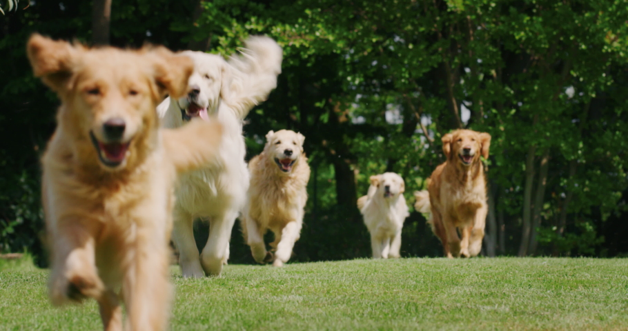 Slow motion of a group of playful pedigreed Golden Retriever dogs are running  towards the camera in a green park.