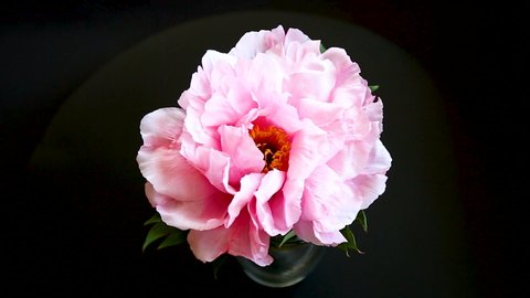 Pink Peony flower ,Paeonia suffruticosa, isolated on black