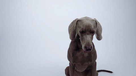 Lockdown shot of sleepy Weimaraner sitting against white background