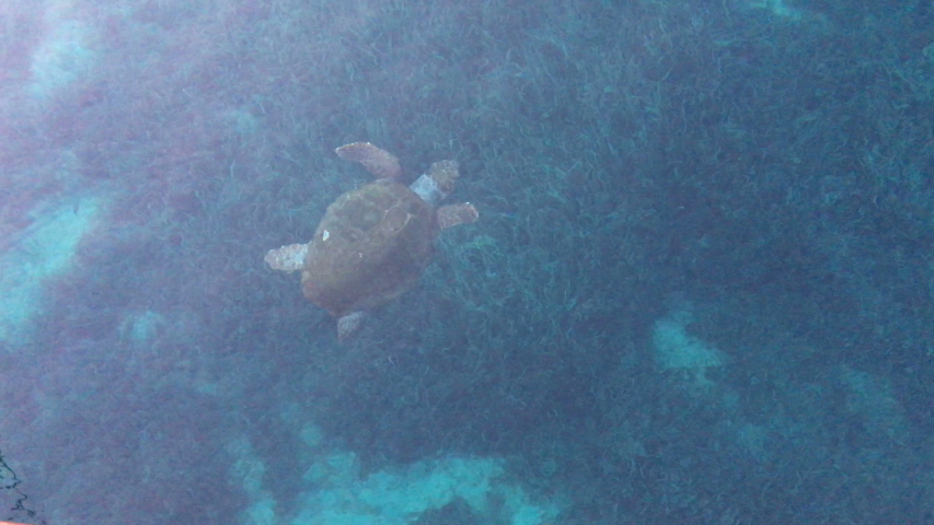 Loggerhead sea turtle in blue water