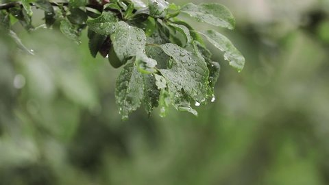Plum tree in the garden while it is rainy. The fruits of the tree are still green. Fruits are not reached