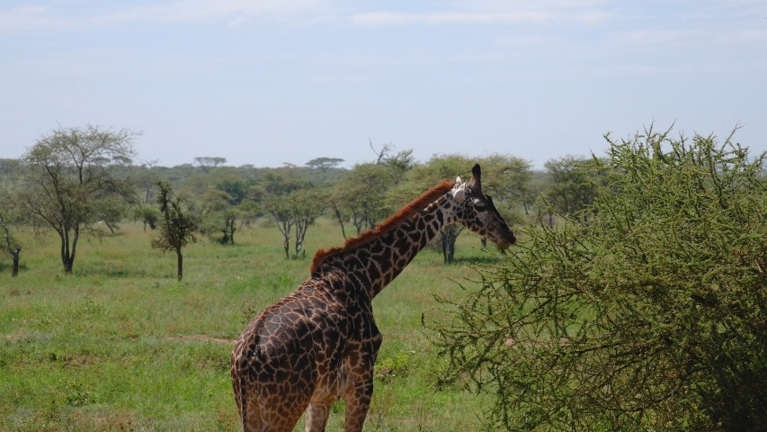 Young giraffe grazing leaves from bushes with thorns. In the African wildlife and rare animals reserve | Shutterstock HD Video #1030099925