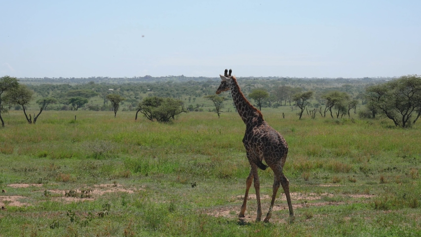 Young lonely giraffe walking on the green savannah with bushes and thorns. In the African wildlife reserve | Shutterstock HD Video #1030117355