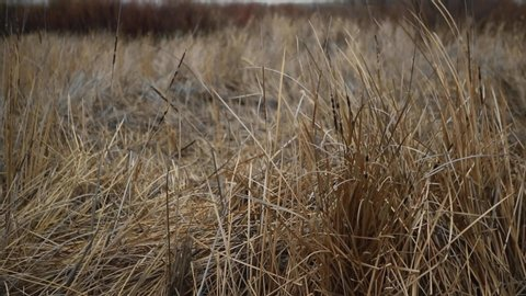 Brush and Cattails Blowing in Wind
