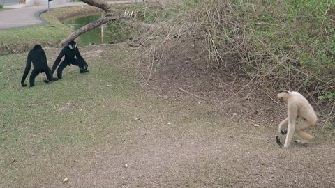 tourists throw bananas to funny black and white langur monkeys walking on dry grass in enclosure slow motion