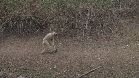 comical langur monkey with large claws walks on hind legs on dry grass ground in animal enclose in zoo slow motion