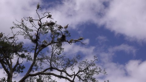 Flock of Pelicans and Storks high in the tree. Serengeti, Tanzania
