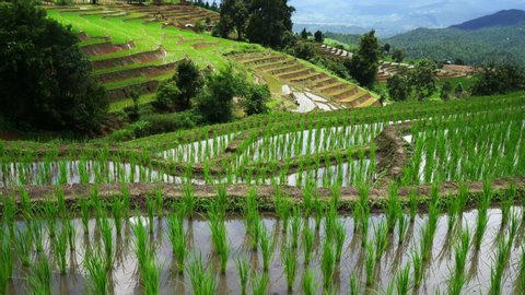 Rice terrace seedlings layer view in the field with water from nature around mountain ,at Ban Pa Bong Piang Hill tribe village, Chiangmai, Thailand..