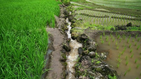 Rice terrace seedlings and growth in the field and water flowing in channel from nature in between on mounatin, at Ban Pa Bong Piang Hill tribe village, Chiangmai, Thailand..