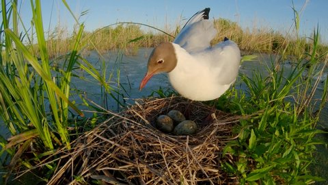 Bird on the nest incubates the eggs and warms the chick. Black-headed gull. Chroicocephalus ridibundus. Hatching chicks from eggs.