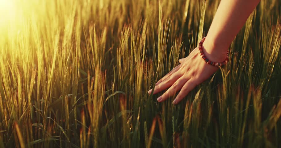 Close-up of woman's hand running through wheat field, dolly shot. Slow motion 120 fps. Filmed in 4K DCi resolution. Girl's hand touching wheat ears closeup. Sun lens flare.  Good harvest concept.  | Shutterstock HD Video #10307345
