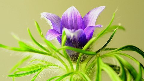 European pasque flower, medicinal plant with flower