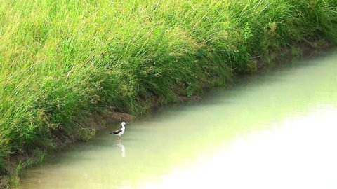 Black-winged Stilt bird stand on water and singing in pond