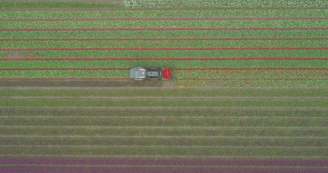 Rising aerial shot of tractor cutting red tulips in a line in colourful purple white and green tulip farm in Holland the Netherlands from above