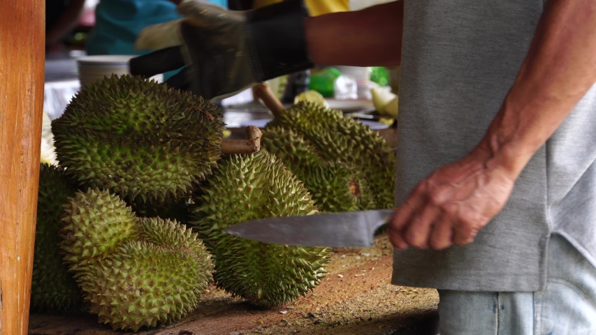 Gardeners cutting organic Durian fruit fresh tree at harvest agricultural garden of Thailand. Durians is the king of fruits, asian fruit of tropical.