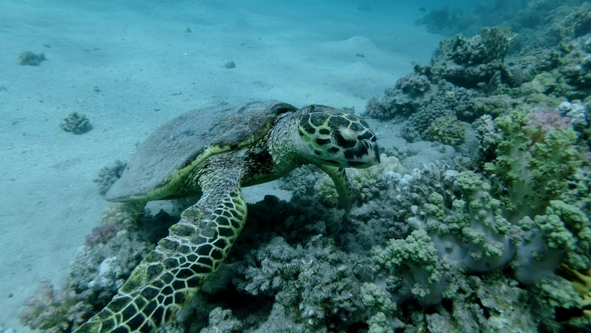 Sea Turtle sits on a coral reef and slowly chews soft coral. Hawksbill Sea Turtle or Bissa (Eretmochelys imbricata) Underwater shot, Closeup. Red Sea, Abu Dabab, Marsa Alam, Egypt, Africa