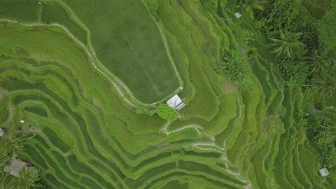 Rice terraced fields from above flying drone. Aerial view green rice plantation in Guangxi, China. Agricultural industry. Farming and agriculture concept