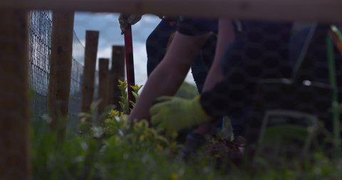 Community garden plot digging seed planting summer plot