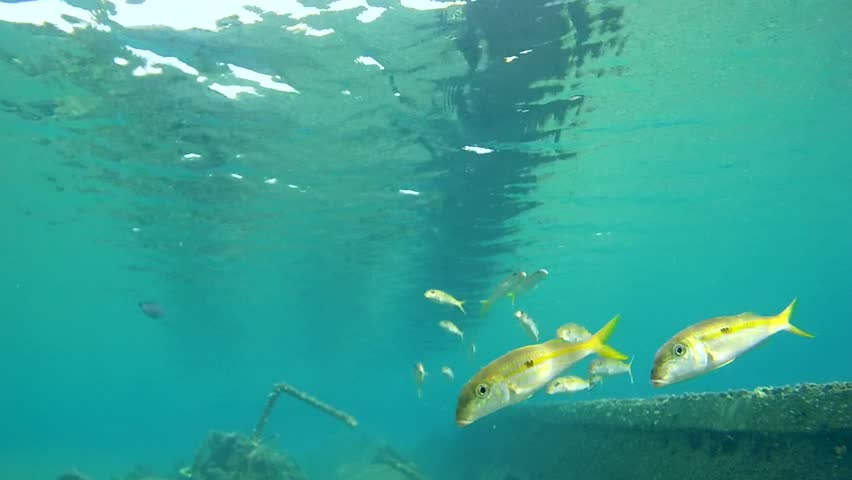 Yellowfin goatfish (Mulloidichthys vanicolensis) float above the sunken wooden ship, Red sea, Marsa Alam, Egypt  | Shutterstock HD Video #10310825