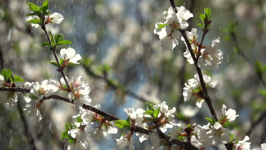 Ornamental Cherry Blossom Tree In Stock Footage Video 100
