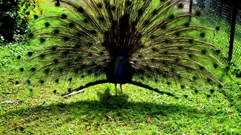 The Indian peacock's train, displayed in full size during bright sunny day vibrates to attract female.