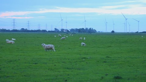 Sheep in a field on the Romney Marsh, Kent - with bleating sounds