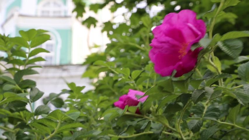 Wild rose bush is blooming   Shutterstock HD Video #1031554565