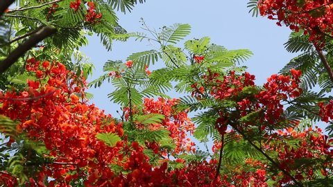 Red flowers are swaying by the wind. Blooming flamboyant flower. Flamboyant tree, Royal poinciana or flame tree.