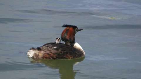 Great crested grebe with baby chicks on its back. Another feeding small baby. Latin name is Podiceps cristatus