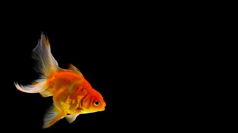Goldfish Black Background Stock Video Footage - 4K and HD