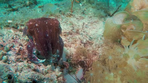 Broadclub Cuttlefish Aka Filipino Cuttlefish Underwater Close Up Feeding On Philippines Tropical Coral Reef With Other Colourful Coral Fish In Visayan Sea Kallangaman Island