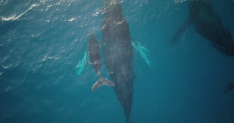 Male escort humpback whale protecting mother and calf during migration season