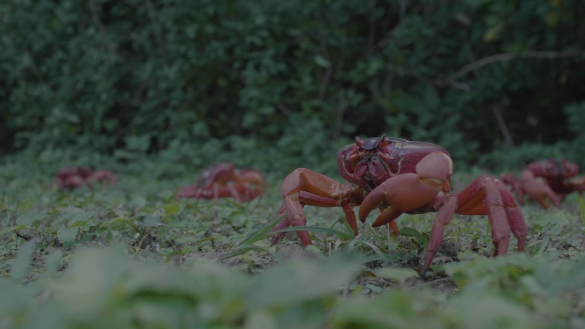 Christmas Island Red Crab Gercarcoidea Natalis | Shutterstock HD Video #1032433205