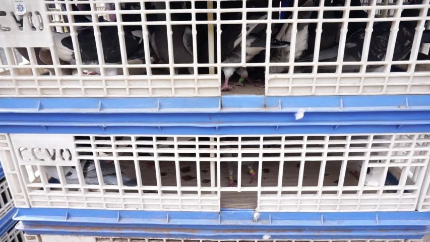 Different type of domestic doves in big cages  | Shutterstock HD Video #1032439865