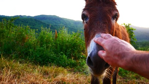 man hand petting a donkey. Curious jackass approaches visitor in a pasture. Ass in a farm